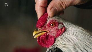 Hühnerprämierung: Rassegeflügelschau in Miesbach | BR