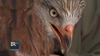 Bussard-Rettung in Otterfing: Hier werden Wildvögel wieder aufgepäppelt