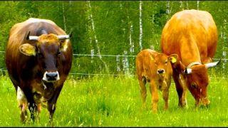 Murnau Werdenfelser Rinder- Informationsfilm über die seltenen Kühe aus Oberbayern